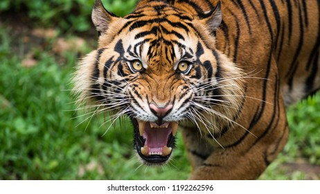 Great tiger in the nature habitat, Bengal Tiger in forest, Beautiful portrait, animal in wild winter nature, white tiger, Wildlife with danger animal, Portrait of beautiful Siberian