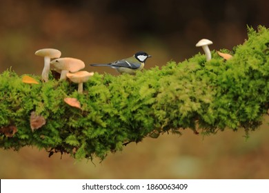 Great tit among the mushrooms in the forest
