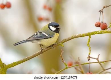 Great Tit bird (parus major) sitting on a tree branch