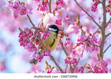 Great tit bird sitting in a pink flowering cherry tree