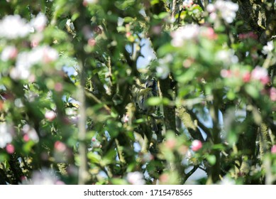 A great tit in a blossoming tree
