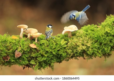 Great tit and Blue tit on the branch with mushrooms