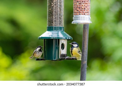 Great tit and coaltit, periparus ater, perched on a bird feeder
