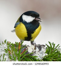 great tit during winter time