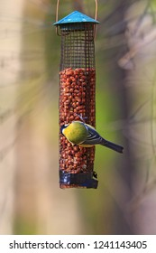 Great Tit eating nuts in a bird feeder