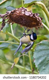 Great tit eating from sunflower (Helianthus)