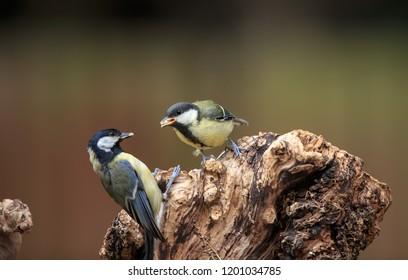 A Great tit feeding its fledgling