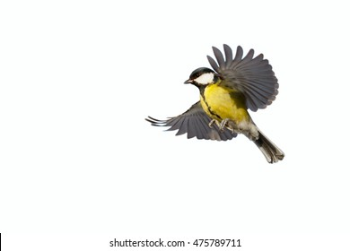 Great Tit in flying on the white background. White background can easily be made transparent