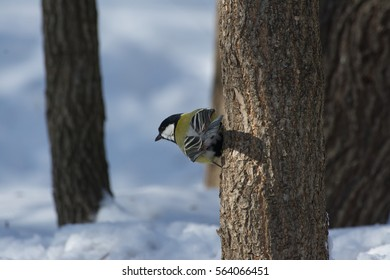 Great tit hanging on side of tree defying gravity