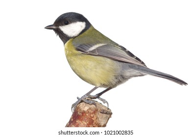 great tit on branch on white background
