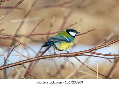 The great tit on tree branch