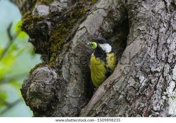 Great tit on tree hole with a caterpillar in beak