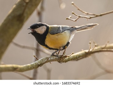 The great tit (Parus major) bird singing on a branch, animal wild