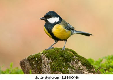 Great tit (Parus major). Garden bird, perched on a stone with moss