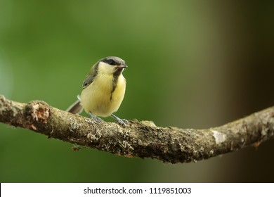Great tit, Parus major, with green back ground