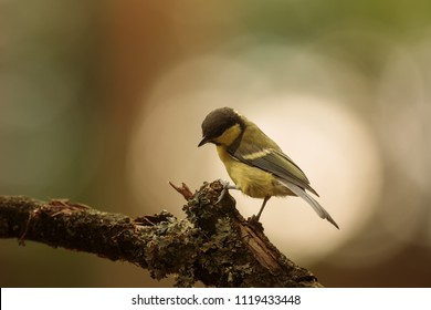 Great tit, Parus major, nice picture with good light