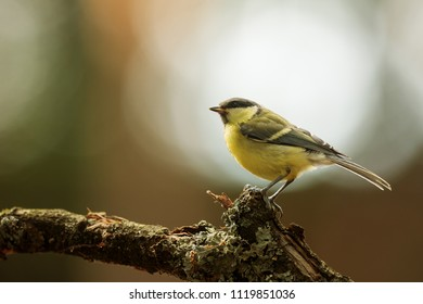 Great tit, Parus major, with nice back light