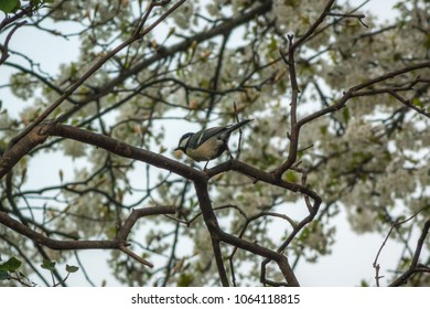 A Great Tit (Parus major) on a tree branch with white blossom in the background