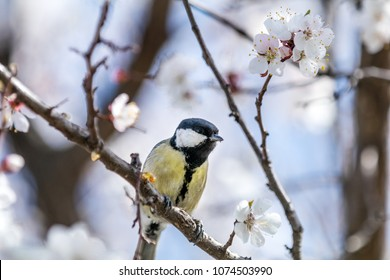 Great tit (Parus major) on a white apricot tree blossom branch in the city park on spring sunny day. Beautiful nature background. Toned photo, close up, shallow depth of the field.