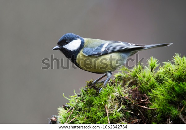 Great tit (Parus major) on moss in the forest in the Netherlands