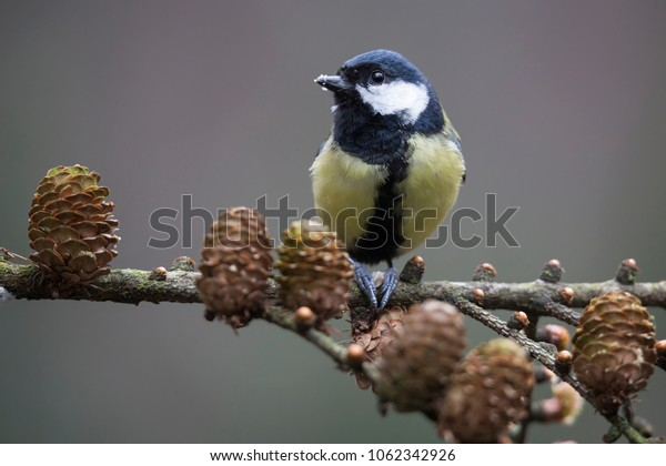 Great tit (Parus major) on a branch of a Larch with cones