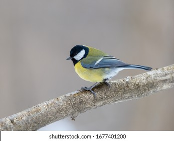 The great tit (Parus major) is a passerine bird in the tit family Paridae.