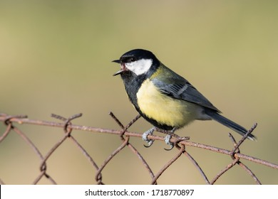 Great tit (Parus major) perched on a railing. Wild songbird singing in a bloomed bush. Czech Republic