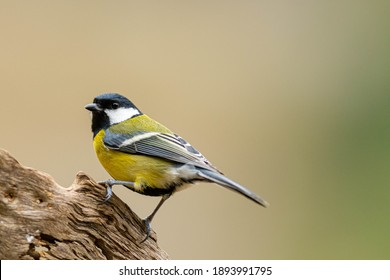 A great tit (Parus major) perched