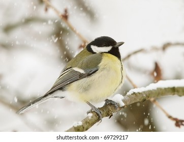 A Great Tit (Parus major) perching on a twig. Snowfall in the background