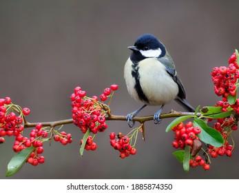 Great tit, Parus major, single bird on berries, Warwickshire, December 2020