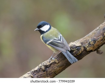 Great tit, Parus major, single bird on branch, Worcestershire, December 2017