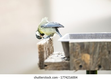 The Great Tit, Parus major, sits in a feeder and tries to crack the sunflower seed