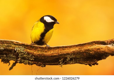 Great tit (Parus major) is sitting on the trunk and nice portrait with yellow autumn background