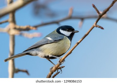 A great tit (Parus major) sitting on a twig
