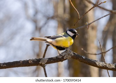 Great tit or Parus major sitting on tree branch. Great tit (Parus major) in the nature habitat. Closeup portrait of a Great tit bird, Parus Major