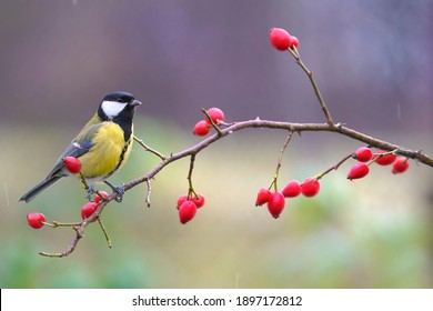 Great tit, parus major, sitting on rosehip in autumn nature. Colorful bird looking around from bush with red berries in fall. Small yellow feathered animal resting on tiny twig.