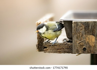 Great tit, Parus major, a small colorful bird sitting in the garden in a feeder looking for food