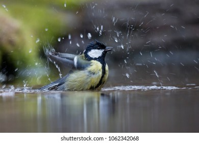 Great tit (Parus major) taking a bath in a water hole in the forest