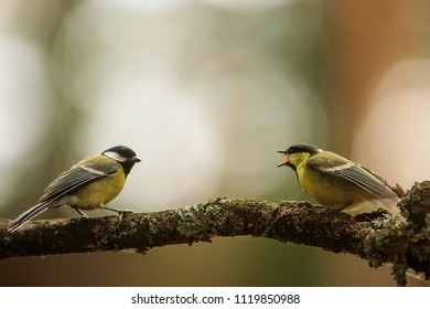 Great tit, Parus major, two birds and one is very young
