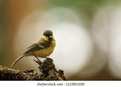 Great tit, Parus major, with very nice light and back light