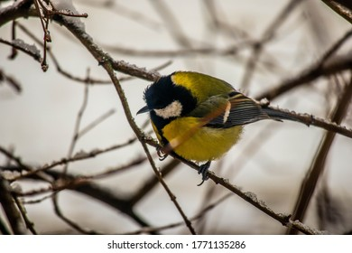 great tit (Parus major) in winter in the snow. The great tit (Parus major) is a passerine bird in the tit family Paridae.