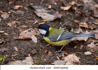 Great tit (Parus major) in the woods