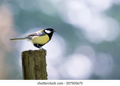 A great tit pauses to rest on a fence post during its continuous search for food for its chicks in a nearby nest.