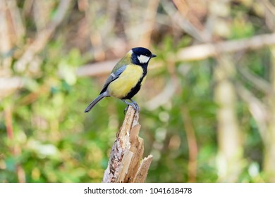 A Great Tit perched on the stump of a broken Silver Birch sapling, looking to the right.