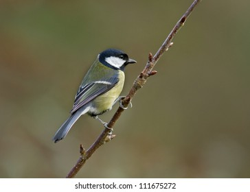 Great tit perched on a tree branch.