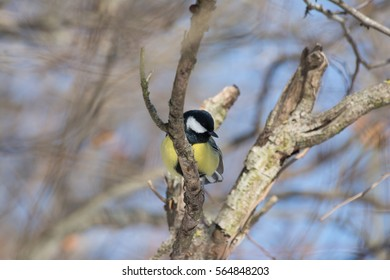 Great tit resting up a tree on branch