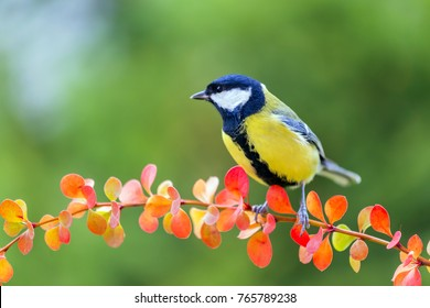 Great tit seated on the colorful branch.