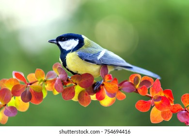 Great tit sits on the bush branch.