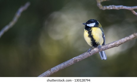 Great tit is sitting on a branch