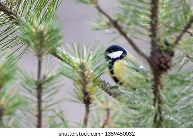 Great tit sitting on a branch in a forest - Karlstad, Sweden 4th April 2019